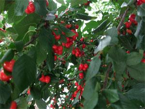 Cherrytime1107