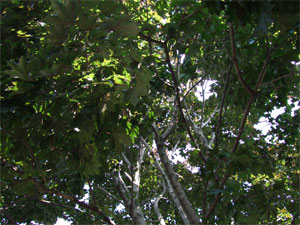Tree22706