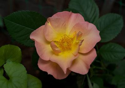 yellowpink 2014-06-17