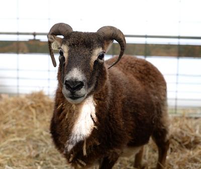 sheep1-2016-10-20-1
